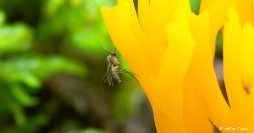 fungus gnat outdoors
