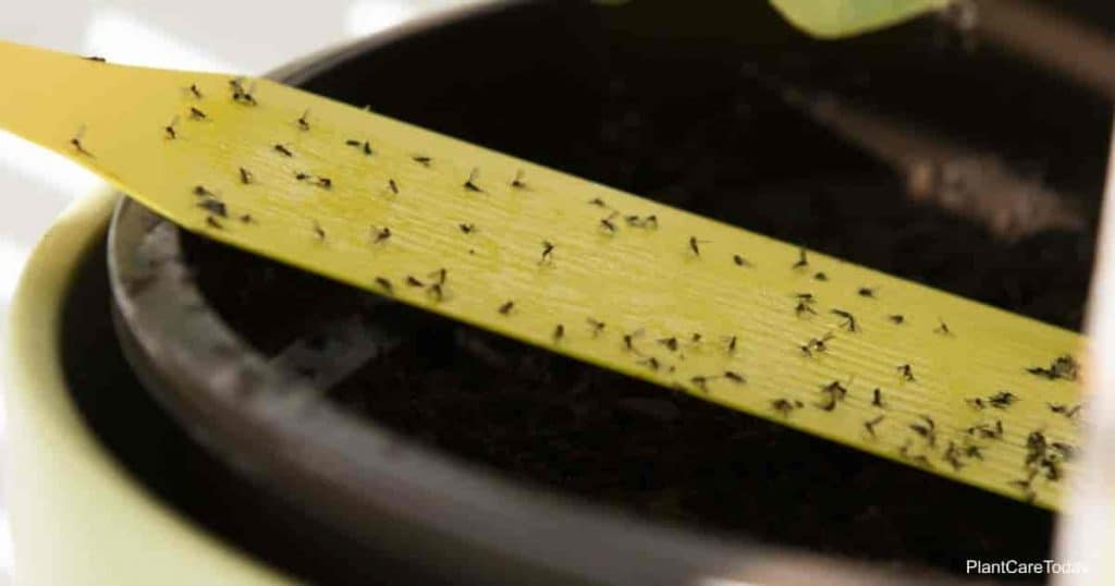 Yellow sticky tape full of fungus gnats