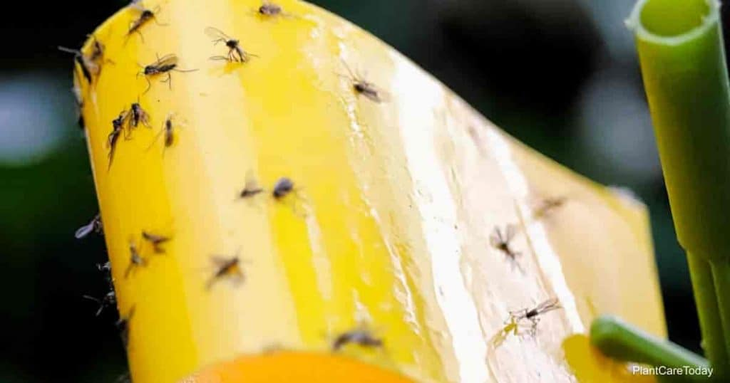 home remedies for fungus gnats