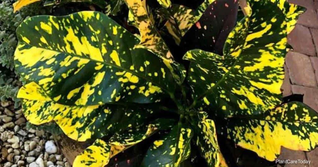 Neem oil spray works on Croton plants