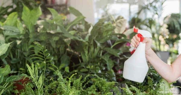 Gardener spraying plants for fungus with Neem oil