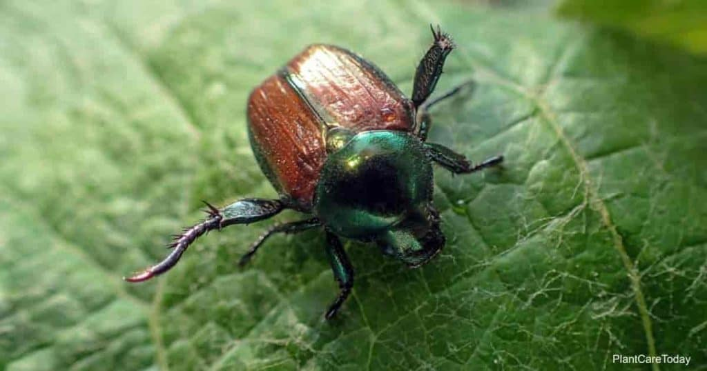 Using neem oil to control Japanese beetles