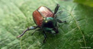Does Neem Oil Get Rid Of Japanese Beetles?