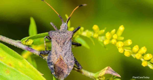 squash bugs feeding on plants