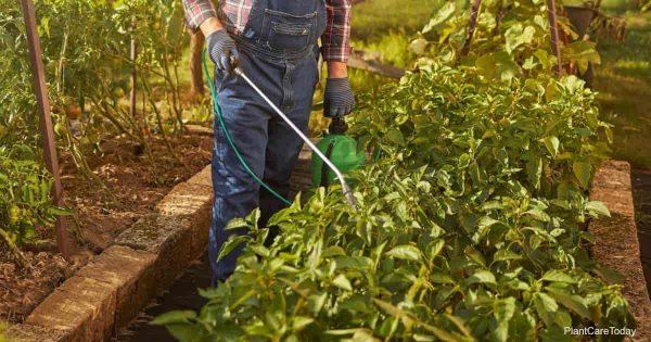 Gardener spraying his plants with neem recipe in a small tank sprayer