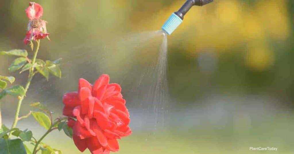 rociar rosa con aceite de neem