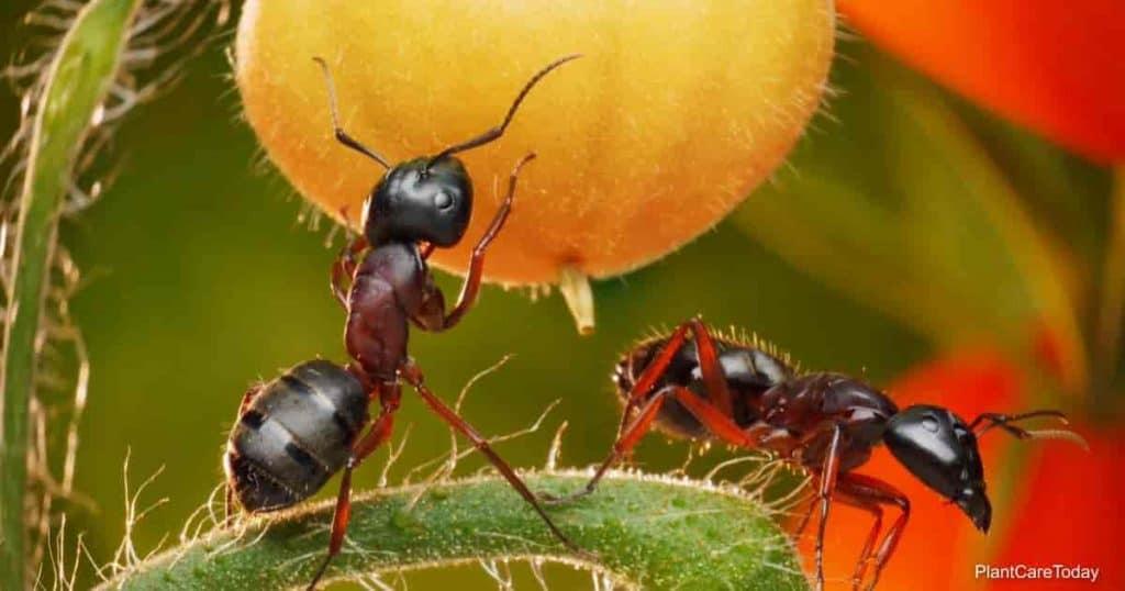does neem oil kill ants