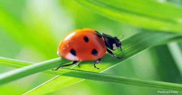 Ladybug hunting for pests