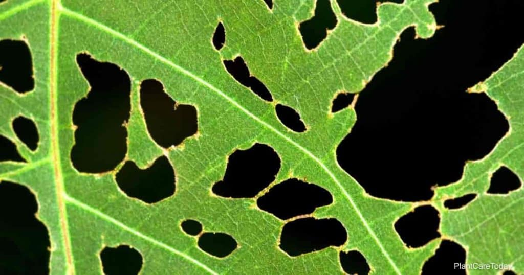 holes in plant leaves - would neem kill the pests
