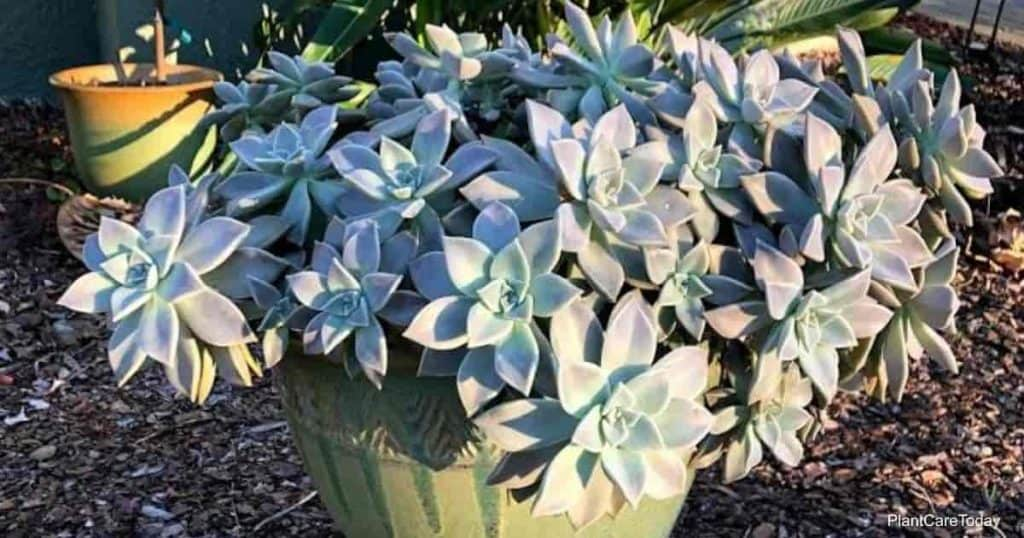 Can succulents be sprayed with Neem Oil