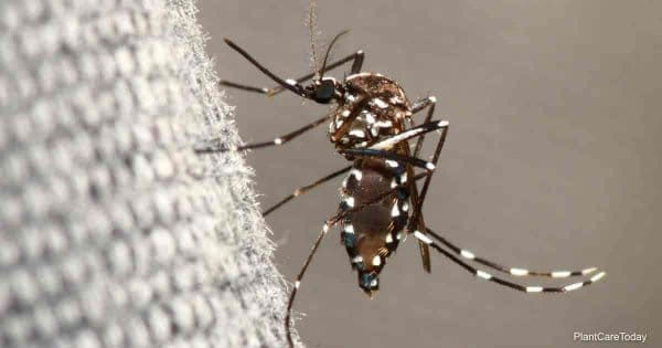 Neem oil for mosquito control