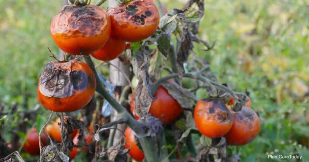 Does neem oil help with early blight on Tomatoes?
