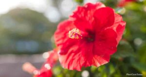 Can You Use Neem Oil On Hibiscus?