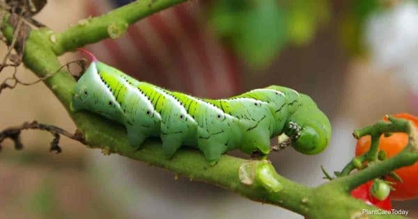 can neem oil control tomato hornworms