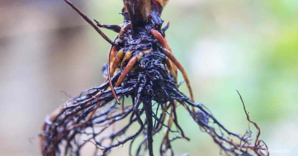 neem oil for root rot