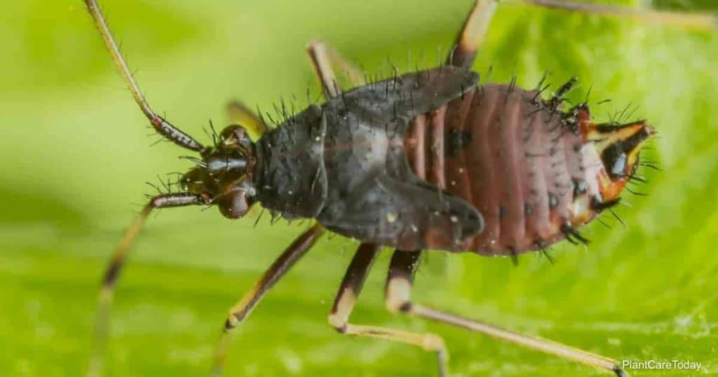 Springtails can become a garden infestation