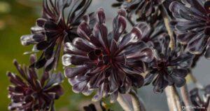 Tips On Propagating Aeonium Plants