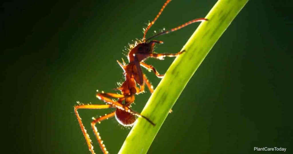 Ant climbing up a leaf stem