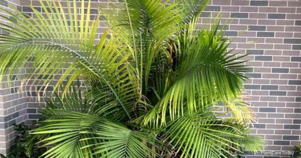 majesty palm yellow leaves