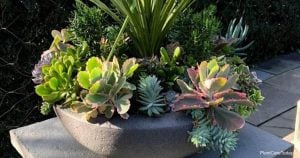 Succulent Leaves Turning Yellow – Why?