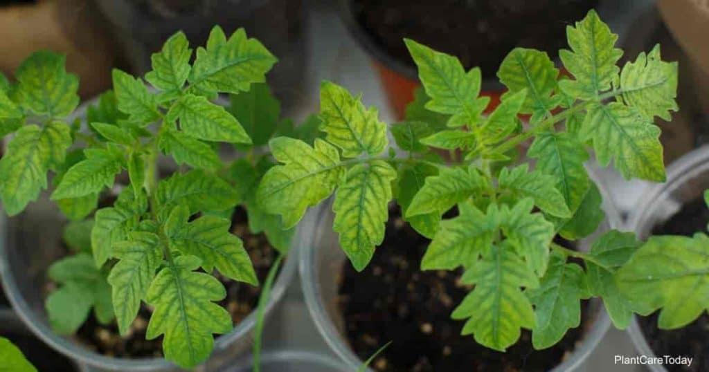 yellow leaves on seedlings