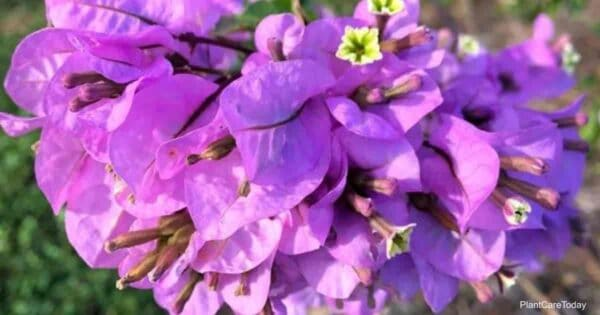 Blooming Bougainvillea glabra