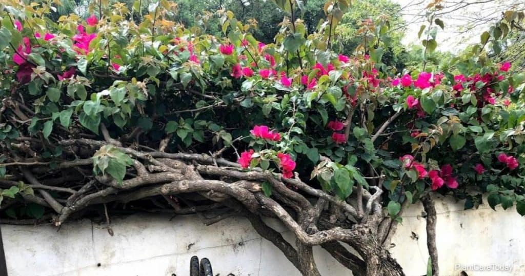 get rid of overgrown Bougainvillea plant