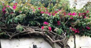 How To Get Rid Of Bougainvillea Plants