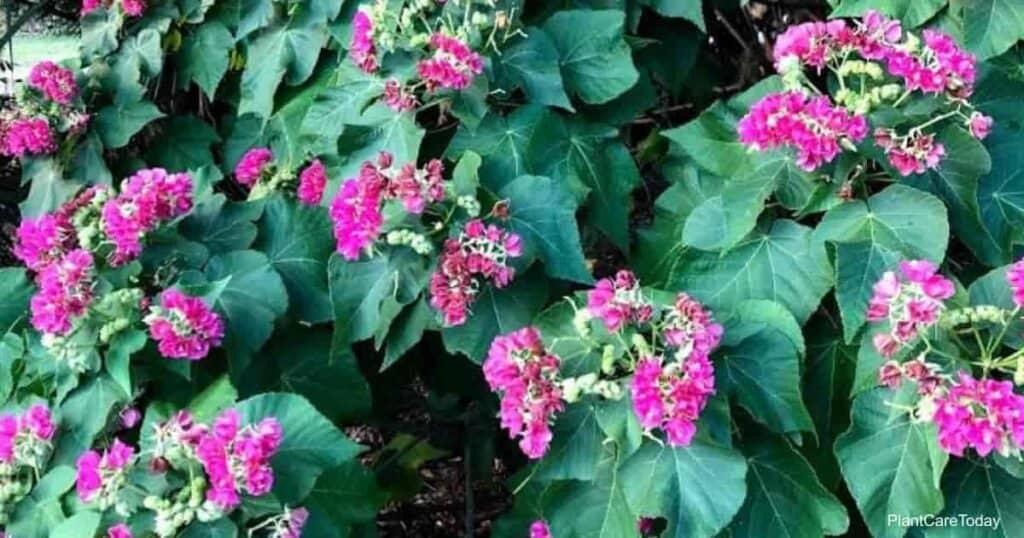Flowering Dombeya Seminole