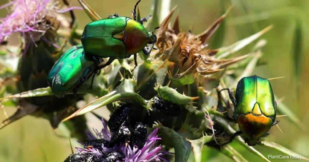 shiny green beetles feeding