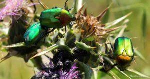 How To Get Rid Of Metallic Shiny Green Beetles