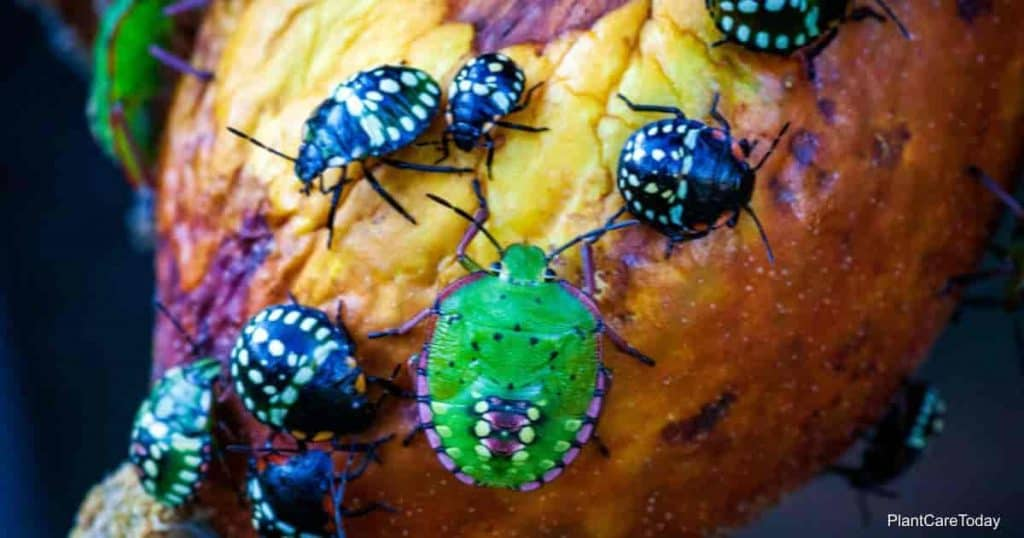 stink bugs in the garden