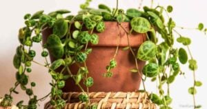 How To Propagate String of Turtles Peperomia Prostrata