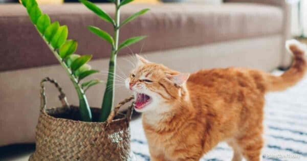 cat chewing on a zz plant