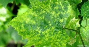 What Is A Mosaic Virus and How Can They Be Treated?