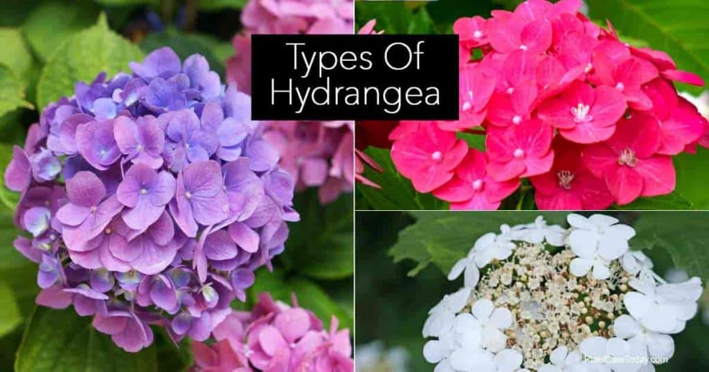Different types of Hydrangea shrubs