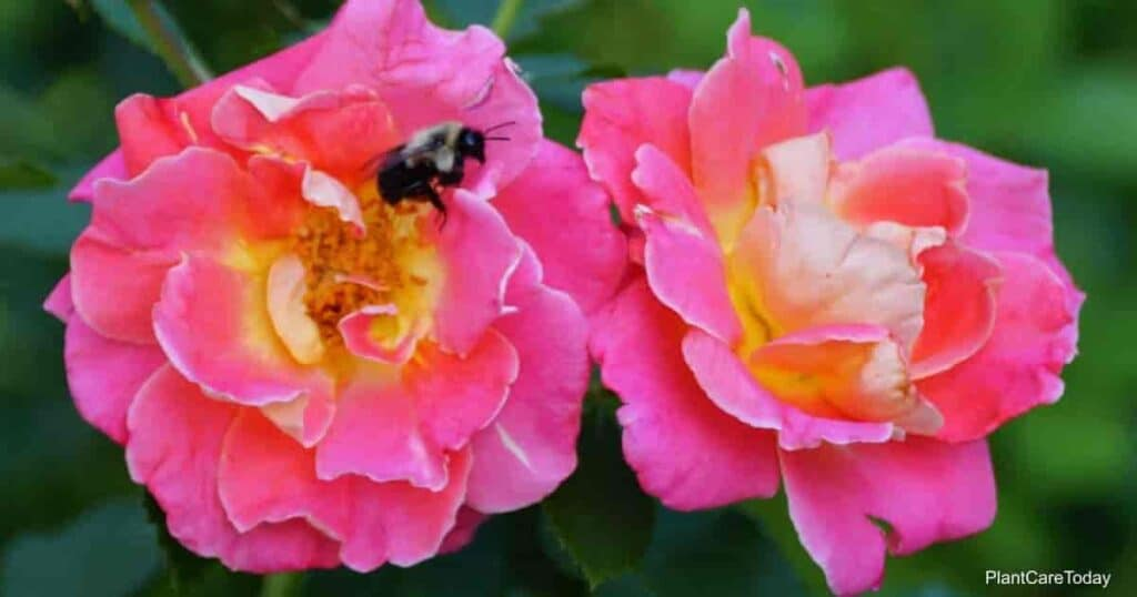 Pink Knockout Rosa Radcon