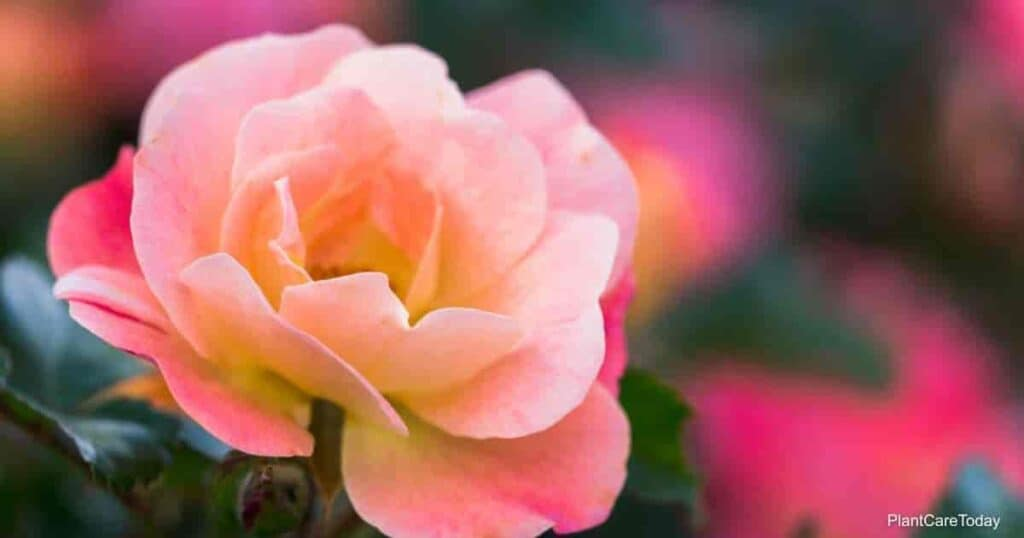 Coral knocks out rose blooms