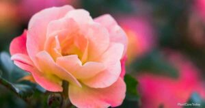 How To Grow and Care For Coral Knock Out Rose