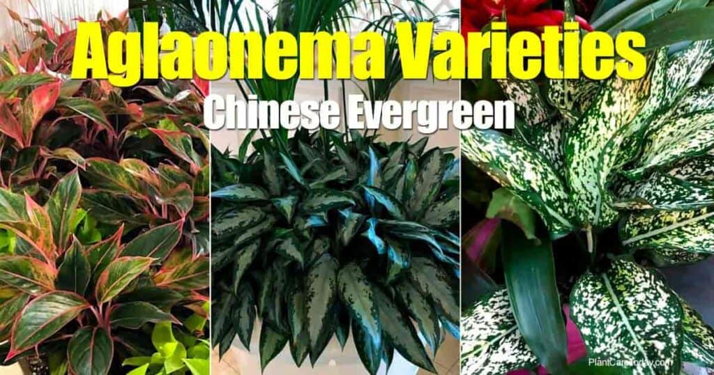 Various Aglaonema varieties