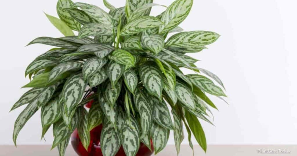 Chinese evergreen are they safe for cats?