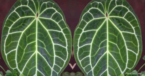 leaves of the Anthurium crystallinum