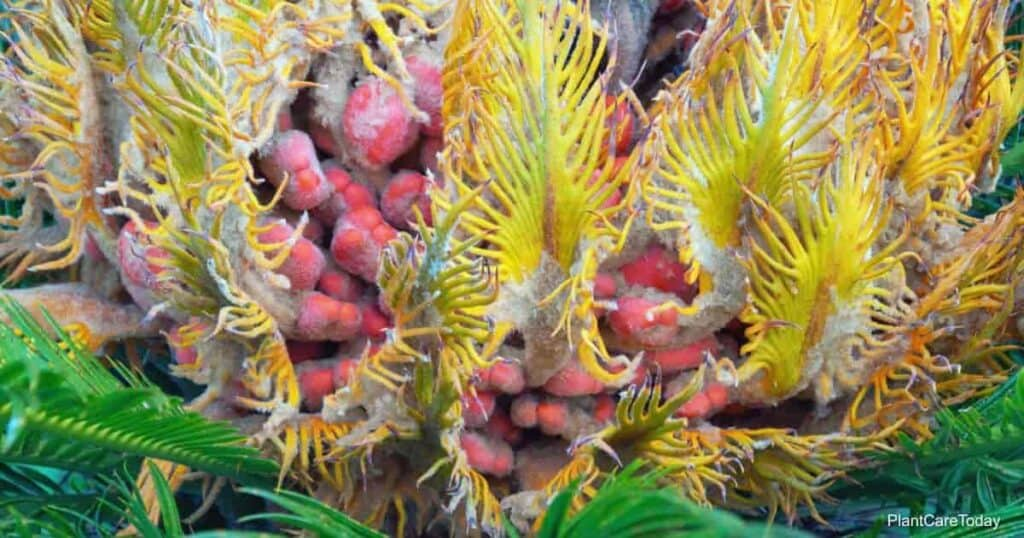 Sago Palm seeds
