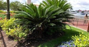Is The Sago Palm A Toxic or Poisonous Plant?