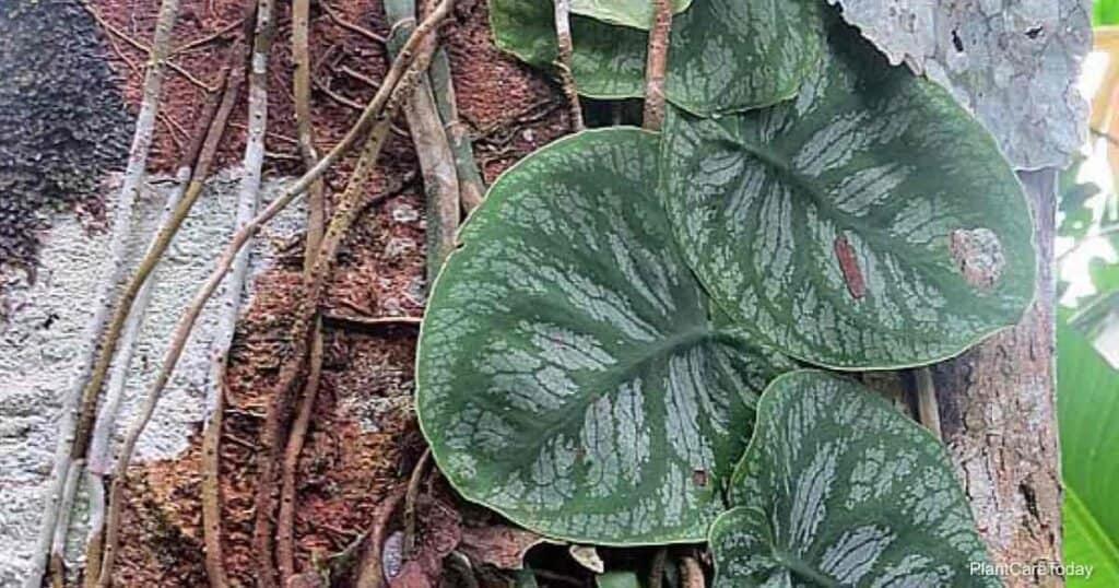 Monstera Dubia crescendo em árvore na Colômbia