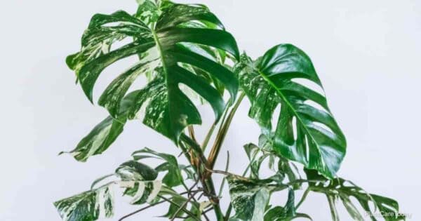 Monstera deliciosa one of the most popular types of monstera