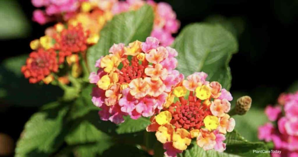 Colorful blooms the Lantana
