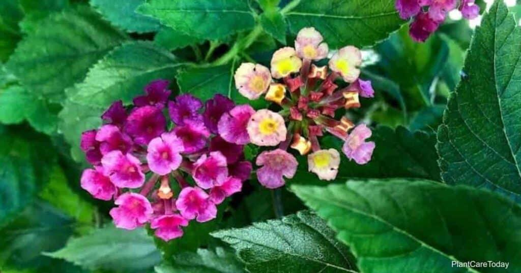flowers of the Lantana plant