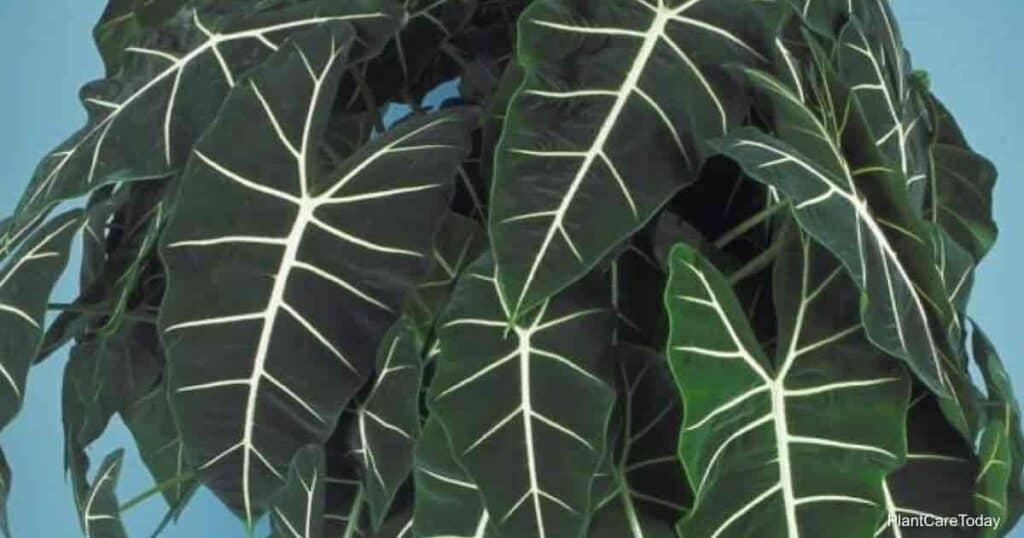 velvety leaves of Alocasia Frydek (Micholitziana)