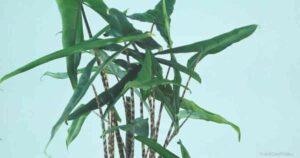 How To Grow and Care For Alocasia Zebrina